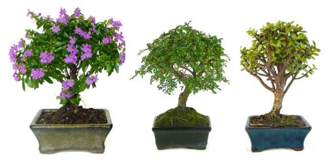 bonsai planton