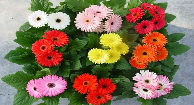Flor gerbera allium floristas for 20 plantas ornamentales