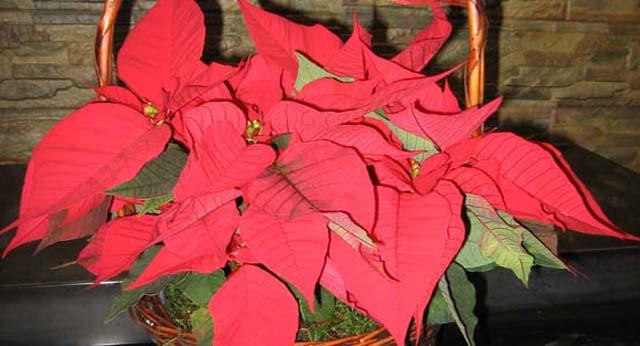 Cuidados flores allium floristas - Jacinto planta cuidados ...