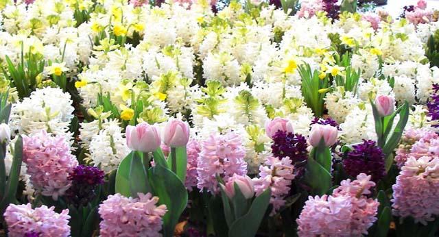 Jacinto allium floristas for Jacinto planta interior